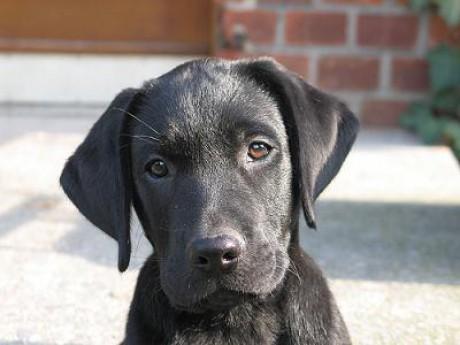 Labrador Retriever Puppies on Retriever   Black Labrador Ne Muuj        Labrador Retriever Puppies